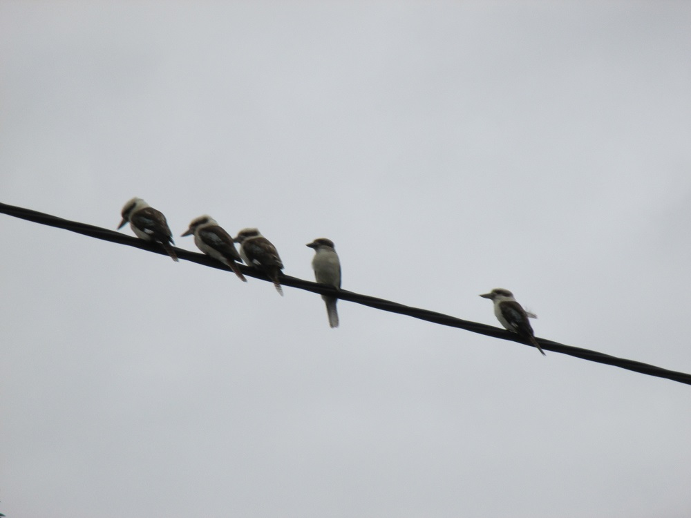 5 kookaburras in a row