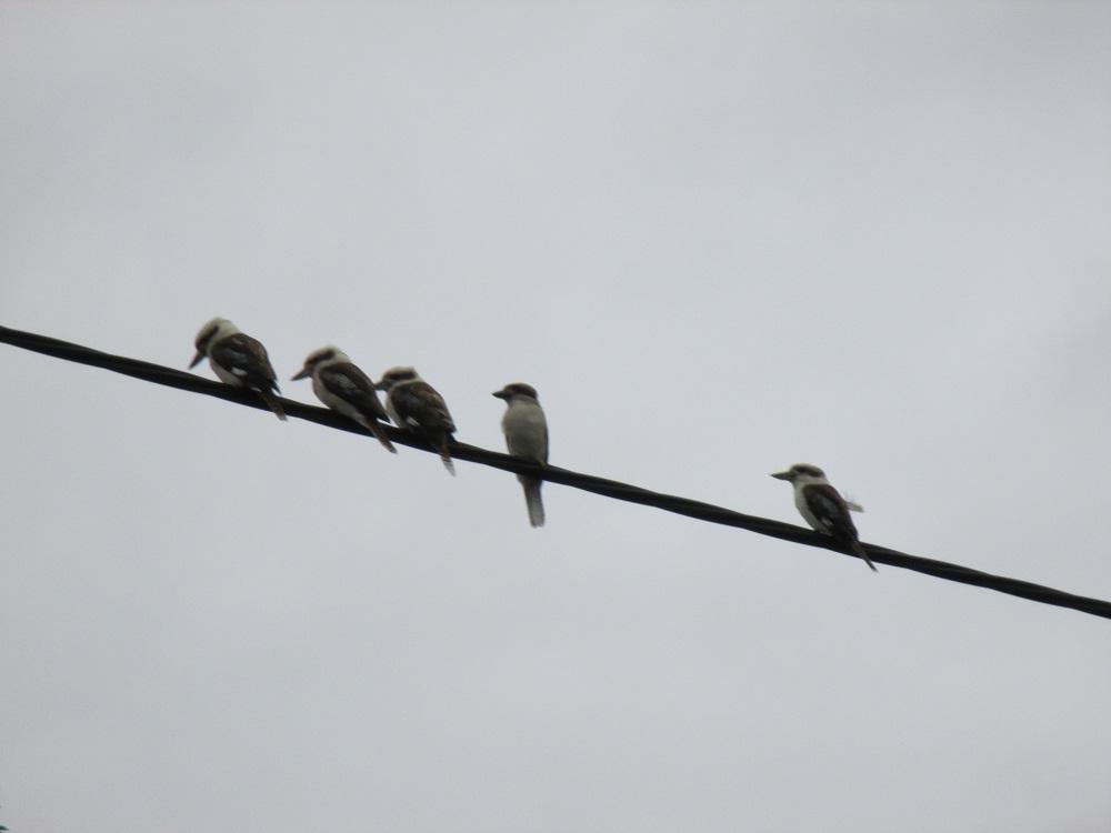 5 kookaburras in a row